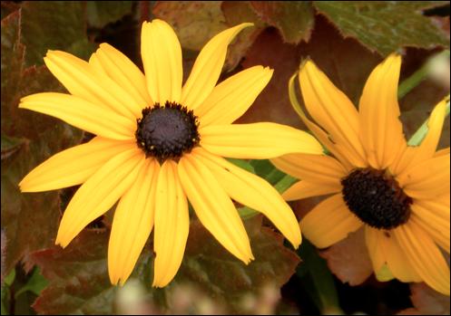 nikon p90 pic6 daisies