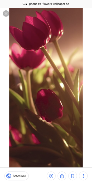 red tulip image - iphone ios wallpaper - google image search