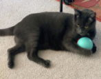 cheerble wicked ball cat dog smart toy - indiegogo - review